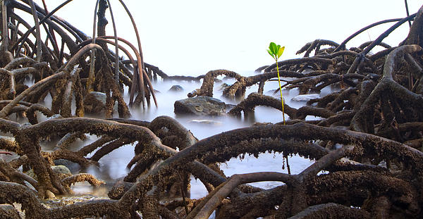 Mangrove Tree Photograph - Mangrove Tree Roots Detail by Dirk Ercken