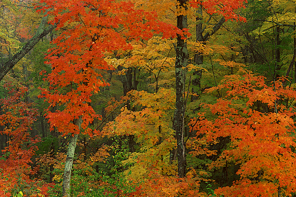 Maple Leaves In Autumn , Algonquin Park , Ontario , Canada Photograph by Comstock