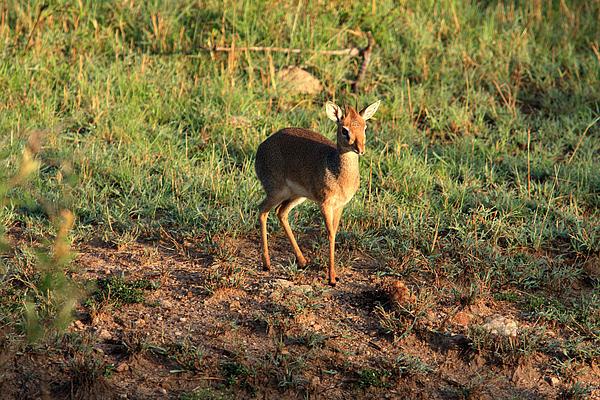 Africa Photograph - Masai Mara Dikdik Deer by Aidan Moran