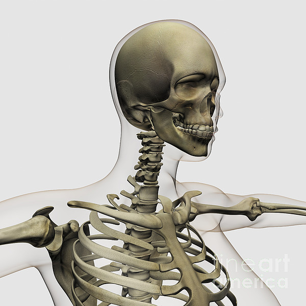 Skeleton Digital Art - Medical Illustration Of A Womans Skull by Stocktrek Images
