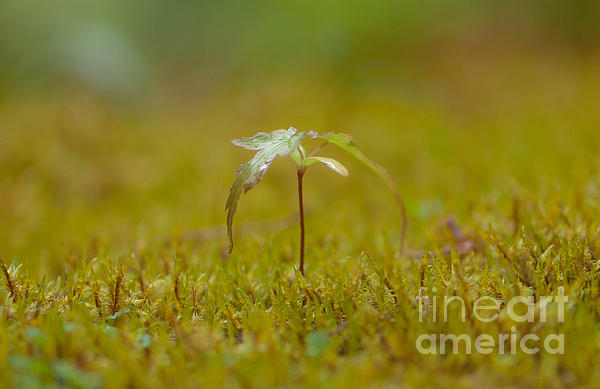 Closeup Photograph - Miniature Tree by Sarah Crites