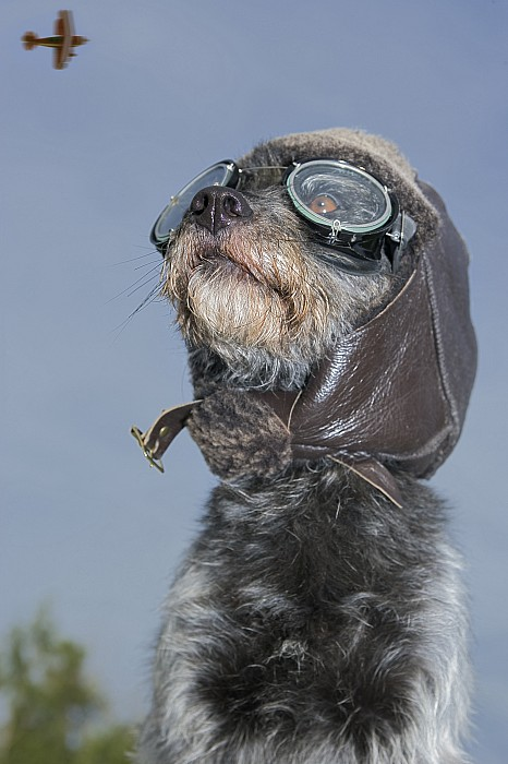 Aeroplane Photograph - Mixed Breed Dog Dressed In Leather Cap by Darwin Wiggett