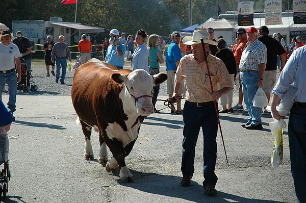 Cow Photograph - Modern Cowboy by Paul Harris