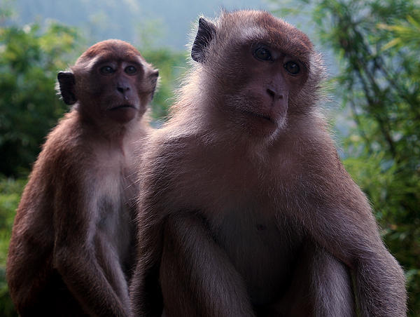 Monkey Photograph - Monkeys Attention by Kaleidoscopik Photography