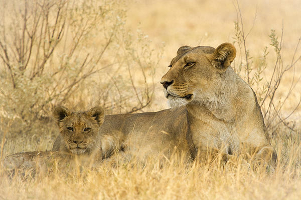 Lion Photograph - Mother And Cub by Alison Buttigieg