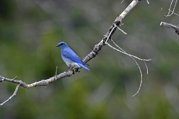 Yellowstone Photograph - Mountain Bluebird In Yellowstone National Park by Bruce Gourley