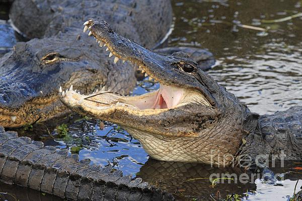 Alligator Photograph - Mouth In The Middle by Adam Jewell