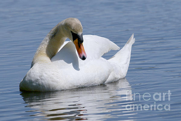 Mute Swan Photograph - Mute Swan 1 by Sharon Talson