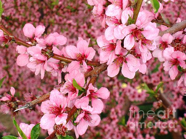 Nectarine Photograph - Nectarine Blossoms by Polly Anna