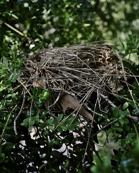 Nest Photograph - Nestled At Home by Brynn Ditsche