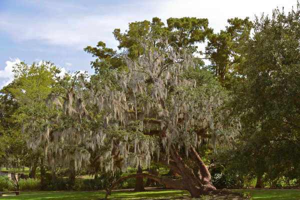 Spanish Photograph - New Orleans Spanish Moss by Christine Till