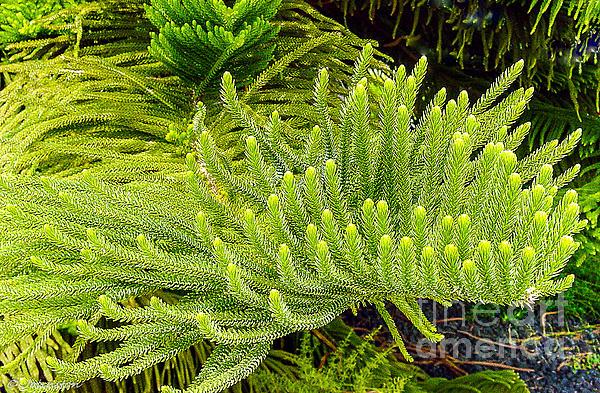 Norfolk  Island  Pine Photograph - Norfolk  Island  Pine In California by Bob and Nadine Johnston