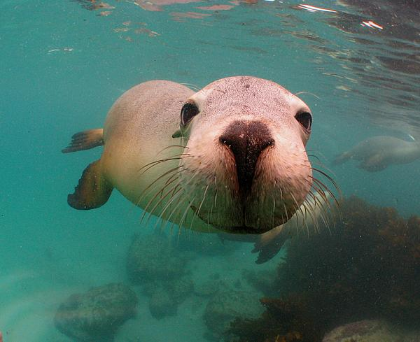 Australian Sea Lion Photograph - Nosey Sea Lion by Crystal Beckmann