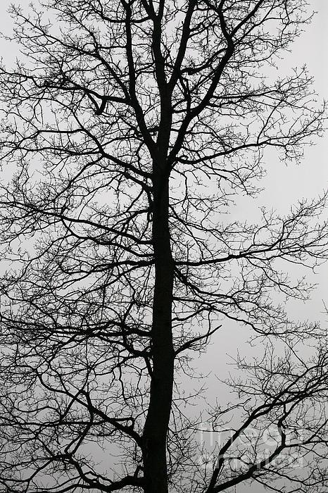Big Tree Photograph - Old Oak In The Grey Sky.  by Tanya Polevaya