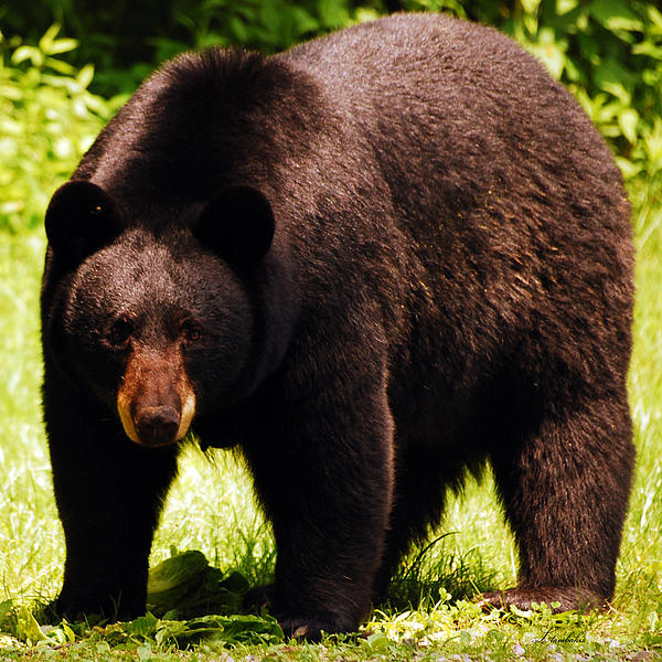 Bear Photograph - One Big Bad Momma by Lori Tambakis