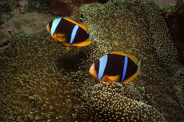 Orange-fin Clownfish And Sea Anemone Photograph by Comstock Images