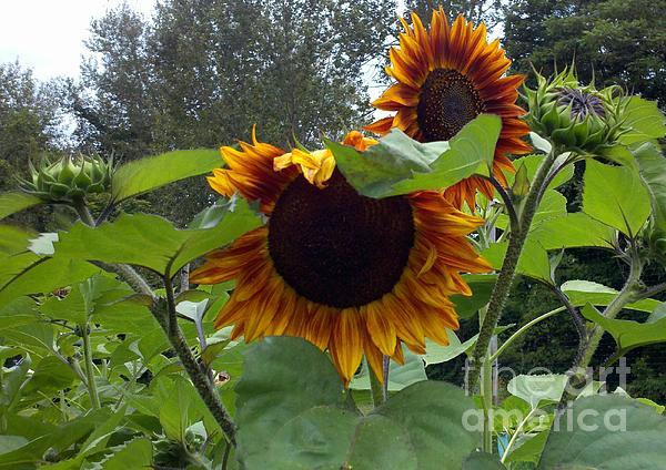 Sunflower Photograph - Orange Sunflowers by Polly Anna
