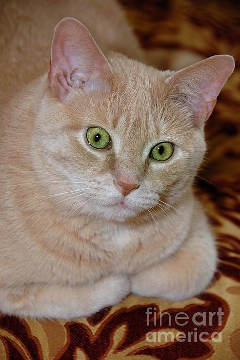 Animal Eyes Photograph - Orange Tabby Cat Poses Royally by Amy Cicconi