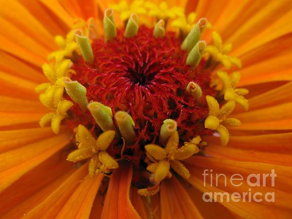 Zinnia Photograph - Orange Zinnia. Up Close And Personal by Ausra Huntington nee Paulauskaite