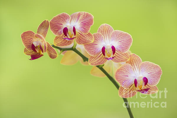 Orchids Photograph - Orchids by Diane Diederich