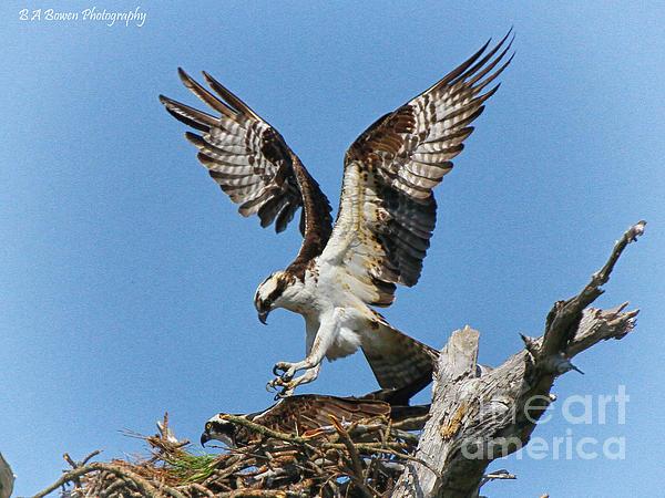 Bird Of Prey Photograph - Osprey Mating by Barbara Bowen