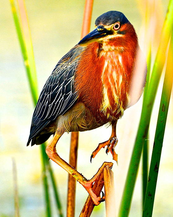 Green Heron Photograph - Out On A Reed by AnnaJo Vahle