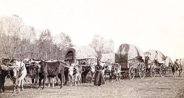 South Dakota Photograph - Ox-driven Wagon Freight Train C. 1887 by Daniel Hagerman