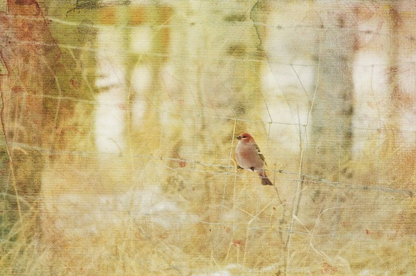 Canada Photograph - Painterly Image Of A Male Pine Grosbeak by Roberta Murray