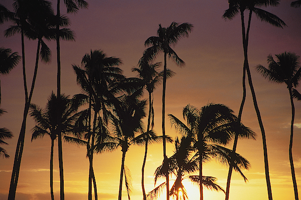 Palm Trees At Sunset Photograph by Comstock