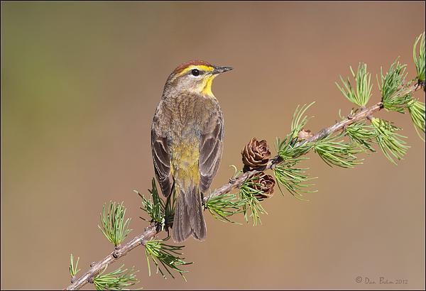 Palm Photograph - Palm Warbler  by Daniel Behm