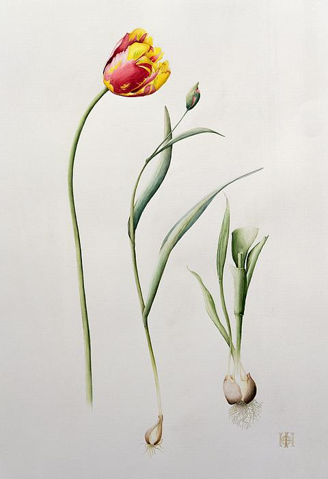 Botanical: Flowers  19th  Painting - Parrot Tulip by Iona Hordern