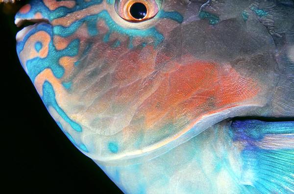 Micronesia Photograph - Parrotfish 2 by Dawn Eshelman