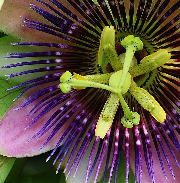 Flora Photograph - Passion Flower Up Close by Bruce Bley