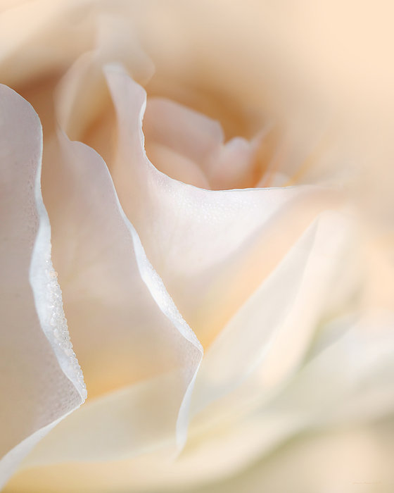 Rose Photograph - Peaches And Cream Rose Flower by Jennie Marie Schell