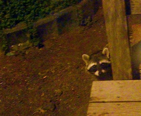Raccoon Photograph - Peek-a-boo Baby Il by Jacquelyn Roberts