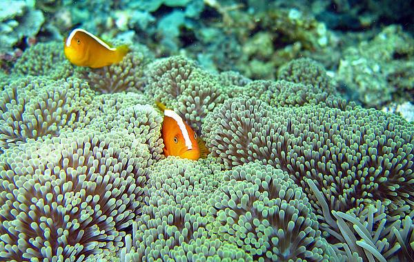 Clownfish Photograph - Peekaboo Clownfish by Laura Hiesinger