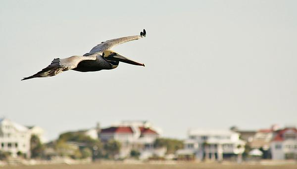 Pelican Photograph - Pelican Flying Over Murrells Inlet by Paulette Thomas