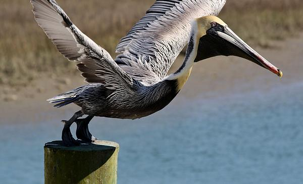 Pelican Photograph - Pelican On His Tip Toes by Paulette Thomas