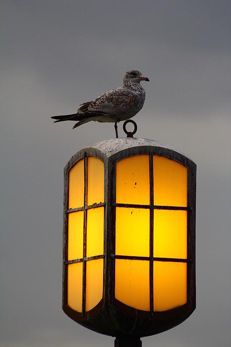 Bird Photograph - Pensive Gull by Rexford L Powell