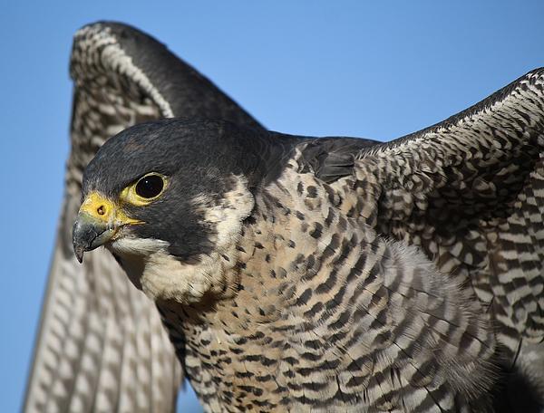 Falcon Photograph - Peregrine Falcon Up Close by Paulette Thomas