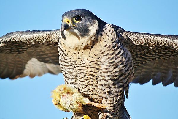Falcon Photograph - Peregrine Falcon With Chicken For Dinner by Paulette Thomas