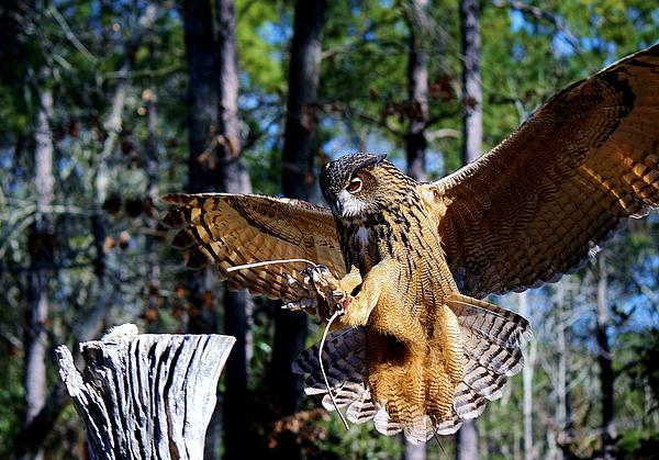 Owl Photograph - Perfect Landing by Paulette Thomas