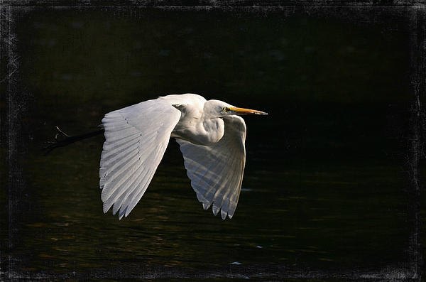 Great White Egret Photograph - Phantom by Fraida Gutovich