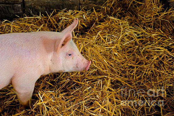 Animal Photograph - Pig Standing In Hay by Amy Cicconi