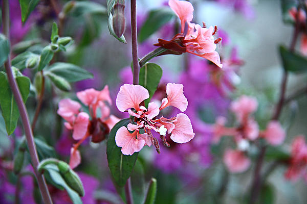 Larkspur Photograph - Pink And Purple by Arkamitra Roy