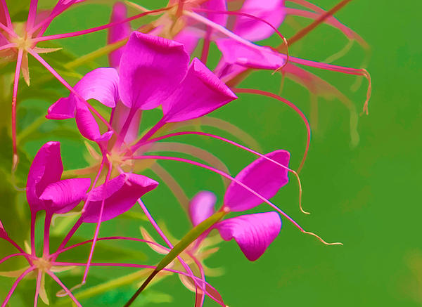 Cleome Photograph - Pink Cleome Or Spider Flower  by RM Vera