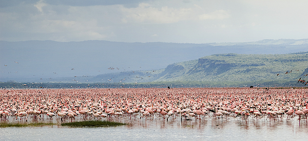 Pink Flamingos In Nakuru Lake Photograph by Elosoenpersona Photo