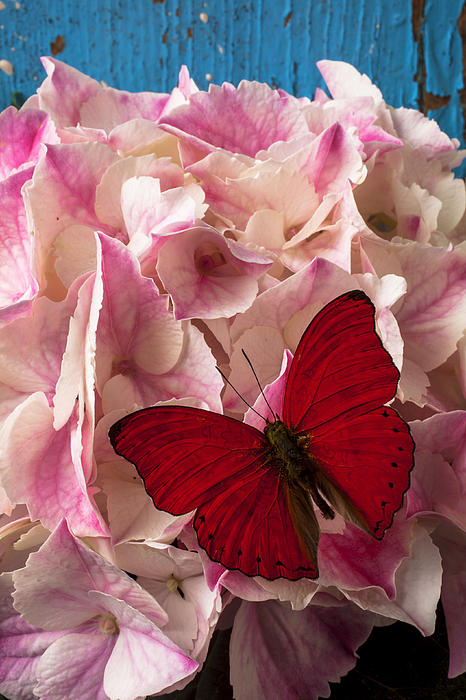 Pink Photograph - Pink Hydrangea With Red Butterfly by Garry Gay