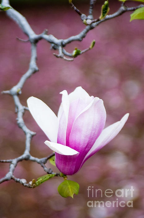 Background Photograph - Pink Magnolia Flower by Oscar Gutierrez