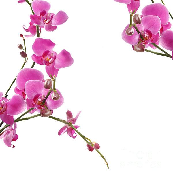 Arrangement Photograph - Pink Orchids by Boon Mee